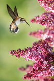 Hummingbird hover in mid-air in the garden vertical image Stock Image