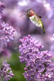 Hummingbird hover in mid-air vertical image Stock Images