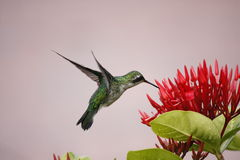 Hummingbird Hovering Royalty Free Stock Images
