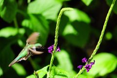 Hummingbird hovering Stock Images