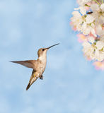 Hummingbird hovering Royalty Free Stock Photography