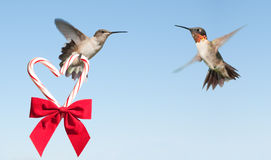 Hummingbird hovering and carrying a candy cane Stock Images