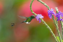 The Hummingbird is hovering and drinking the nectar from the beautiful flower royalty free stock photos