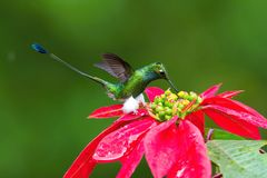 The Hummingbird is hovering and drinking the nectar from the beautiful flower. In the rain forest. Flying White-booted Racket-tail, Ocreatus underwoodii with royalty free stock photography