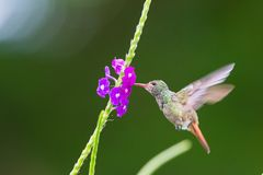 A hummingbird hovering at a flower in Costa Rica, Central America Stock Photos