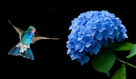 Hummingbird Hovering on Hydrangea over black background Stock Images