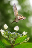 Hummingbird hovering on Hydrangea vertical image Royalty Free Stock Image