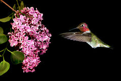 Hummingbird Hovering on Lilac over black background Stock Photos