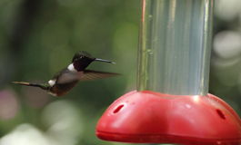 Hummingbird hovering in Monteverde Biological Reserve, Costa Rica Royalty Free Stock Photo