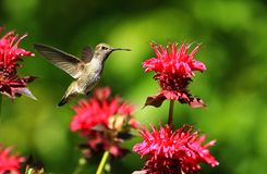 Hummingbird hovering near pink flowers. A hummingbird hovering in a colorful garden near some pink flowers Stock Image