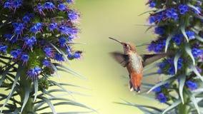 Hummingbird hovering Royalty Free Stock Photography