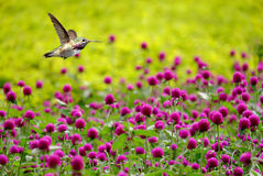 Hummingbird hovering next to red colored flowers Royalty Free Stock Images