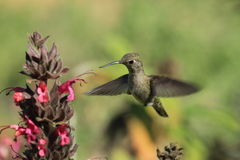 Hummingbird hovering over flower Royalty Free Stock Photography