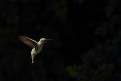 Hummingbird hovering Stock Photography