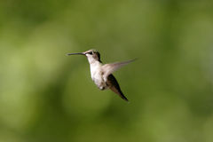 A hummingbird hovers in the air. A female rufous hummingbird hovers in the air Stock Photography