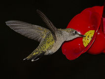 Hummingbird hovers at feeder stock image