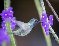 A hummingbird in the Peruvian Amazon stock photography