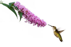 Hummingbird hovers at pink buddleia flower. Female ruby throated hummingbird hovers near pink butterflybush. image on a white background royalty free stock image