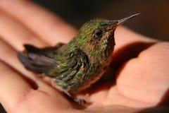 Hummingbird in human hand Stock Photography