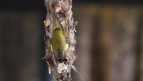 Hummingbird. Humming bird making nest and bringing food to the nest stock video footage