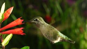 Hummingbird i coralle fuksja w niektóre dżdży zdjęcie wideo