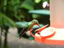 Hummingbird i Costa Rica Arkivfoto