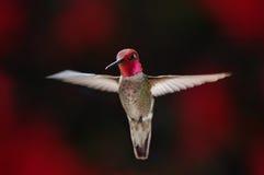 Hummingbird i flyg arkivfoton