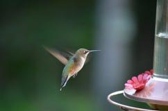 Hummingbird i flyg Royaltyfri Fotografi