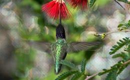 Hummingbird i flyg royaltyfri foto
