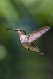 Hummingbird i flyg Arkivbild