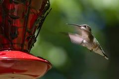 Hummingbird i flyg Royaltyfria Foton