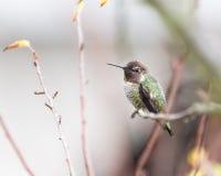 Hummingbird i gałąź Zdjęcia Royalty Free