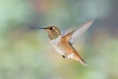 Hummingbird i skrämsel Arkivfoto