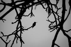 Hummingbird II. Hummingbird Silhouette in Black and White Royalty Free Stock Photo