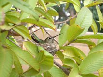 A Hummingbird in Its Nest. A snapshot of a hummingbird resting inside its nest in my backyard stock photo