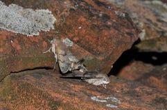 Hummingbird jastrzębia ćma Fotografia Stock