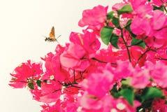 Hummingbird jastrzębia ćma w Spain pobliskim różowym bougainvillea kwitnie Fotografia Royalty Free