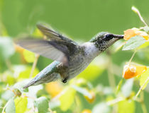 Hummingbird and Jewelweed. Female Ruby Throated Hummingbird (Archilochus colubris) feeds from Jewelweed wild flower Stock Images