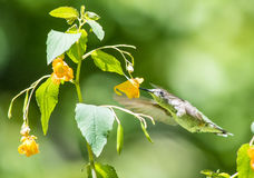 Hummingbird and Jewelweed Royalty Free Stock Photo
