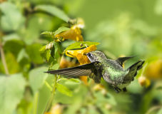 Hummingbird and Jewelweed Flower Stock Images