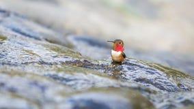 Hummingbird kąpanie Obrazy Stock