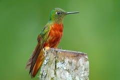 Hummingbird kasztanu Coronet, Boissonneaua matthewsii w lasowym Hummingbird od Peru chmurnieje lasowego Ptasiego obsiadanie dalej Zdjęcia Royalty Free