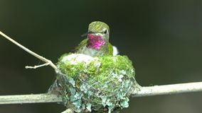 Hummingbird kicking nest bottom. The female hummingbird arrange the materials inside her nest stock video footage