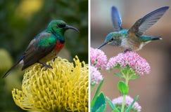 Hummingbird kolaż Zdjęcie Stock