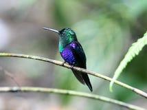 hummingbird koronowany zielony woodnymph Zdjęcie Royalty Free
