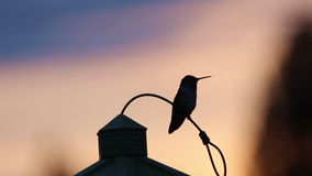Hummingbird Landing On Feeder At Sunset. Tiny hummingbird silhouette landing on feeder at sunset no audio stock video footage