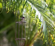 Hummingbird Landing with Feet pointing out. Male hummingbird landing with feet pointing out onto a metal cage surrounded by palm trees.  He has purple feathers Stock Images