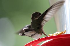 Hummingbird Lands to Feed From Feeder Stock Images