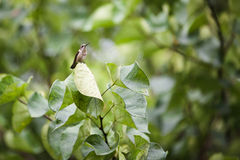 Hummingbird on a leaf. Hummingbird sitting on a leaf in a tree Stock Images