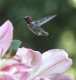 Hummingbird in lilies Stock Photo